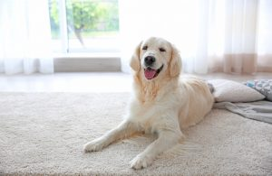 How to remove pet stains from the carpet